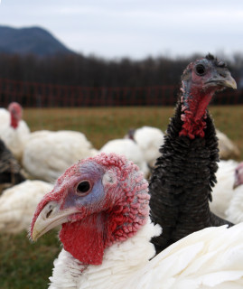 Heritage breed turkeys